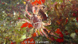 Carribean king crab on night dive, Cozumel by Bob Jeannetti 